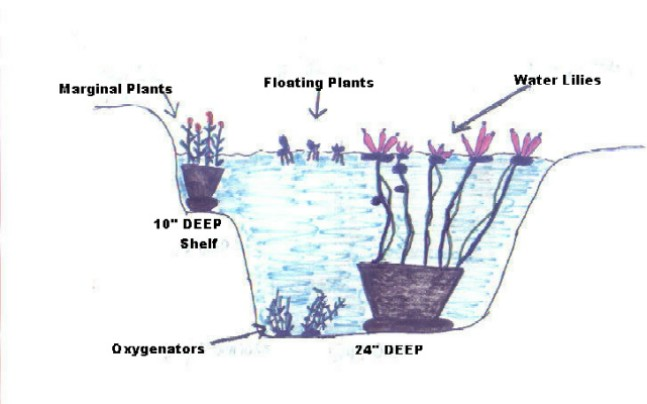 Aquatic plantsfishkoi marginal plants are shallow water plants which means the water can only be no more than 2 inches deep over the soil in the pot if you have a shelf in your ccuart Image collections